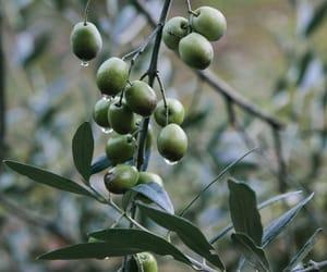 oliva image