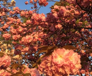cherry blossoms, flowers, and salmon pink image