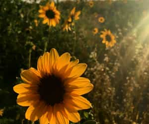 autumn, flowers, and sun image