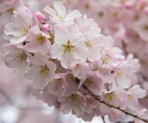 blossoms, cherry blossoms, and flowers image