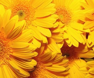 yellow, flowers, and icon image