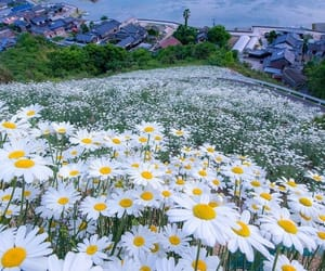 flowers, nature, and daisy image