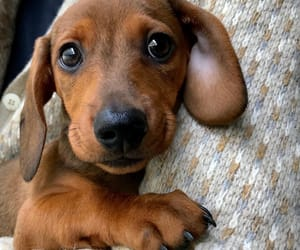 dachshund, happiness, and puppy image