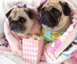adorable, animals, and pugs image