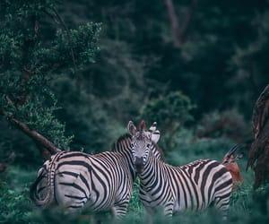 animals, nature, and zebra image