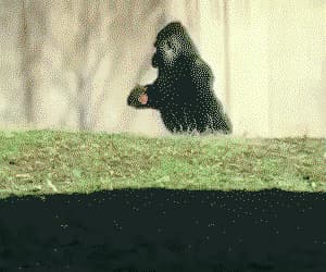 awesome, funny, and gorilla image