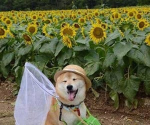 dog, flowers, and sunflower image