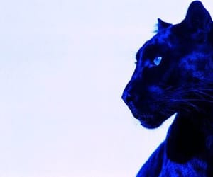 blue, panther, and electricblue image