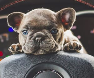 dogs, french bulldog, and jeep image