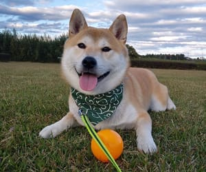 dog, grass, and japanese image