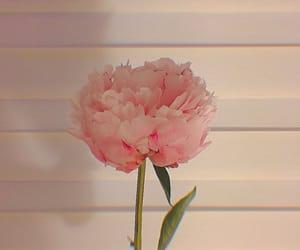 carnation, korea, and flower image