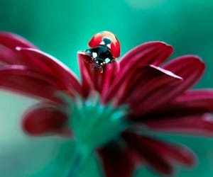 flower, red, and ladybug image