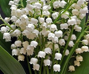 flowers, white, and lily of the valley image