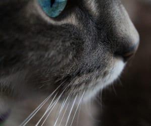 blue eyes, photographer, and siamese image