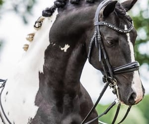 horse and beautiful pinto image
