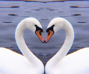 theme, Swan, and heart image
