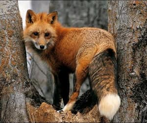 Fox ❤