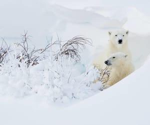 Polar Bears, Canada by Danny Green Photography