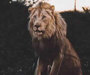 animal, leao, and lion image