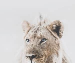 animal, lion, and blue eyes image