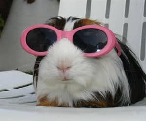cute, funny, and guinea pig image