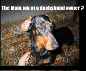dachshund, funny, and meme image