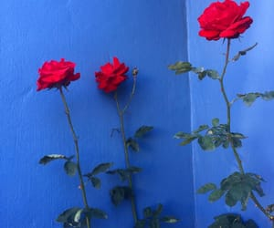 rose, blue, and red image