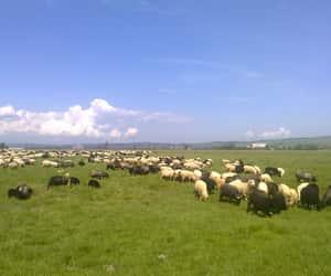 stado owiec image