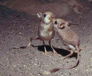 animals, desert, and jerboa image