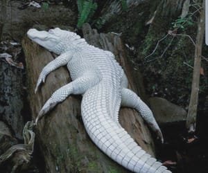 albino, reptile, and alligator image
