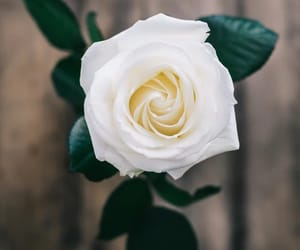 beauty, nature, and rose image