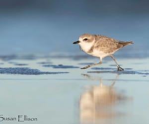 snowy plover by Susan Ellison