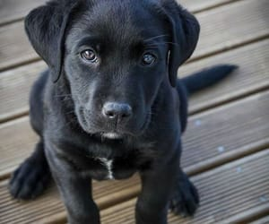 black, dog, and eyes image