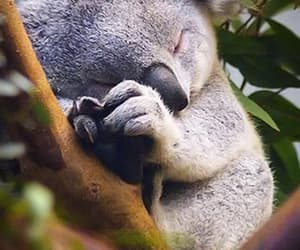 Sleeping baby koala  http://whatever-you-want.wikia.com/wiki/File:Sleeping-baby-koala.jpg