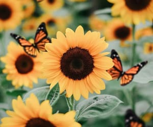 butterfly, flowers, and sunflower image