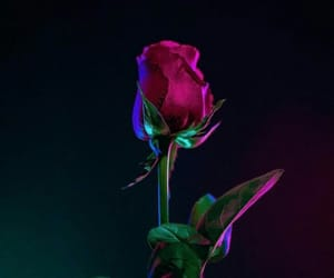 wallpaper, background, and rose image