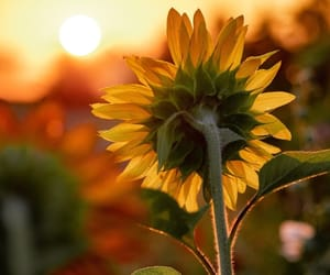 sunflower and sun image