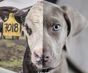 animal, animals, and calf image
