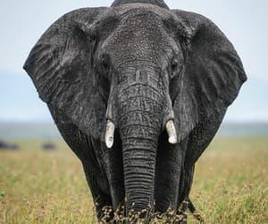 animal, elefante, and salvaje image