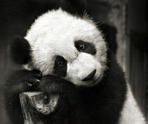 animals, black&white, and panda bear image