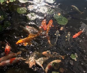 fish, aesthetic, and koi image