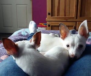 chihuahua, cute, and dog image