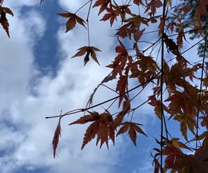maple and sky image