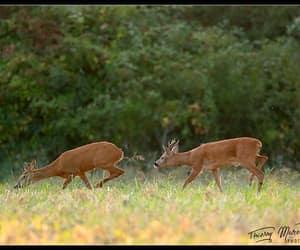Deer feeding by Thierry Moreau