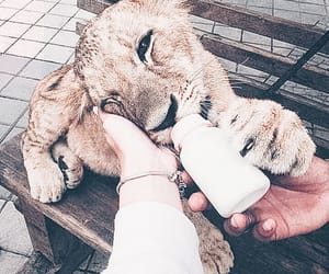 baby lion, lion, and food image
