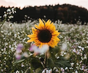sunflower, nature, and flowers image