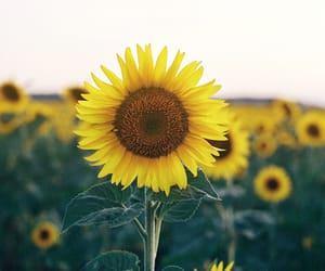 nature and sunflowers image