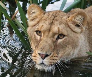 Animales, belleza, and leona image