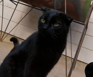 animal, beautiful, and black cat image