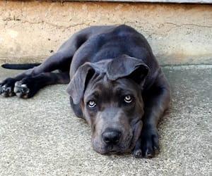 dogs, pets, and cane corso image